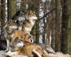 Притча про волков